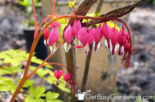 Bleeding heart do well in a garden with no sun