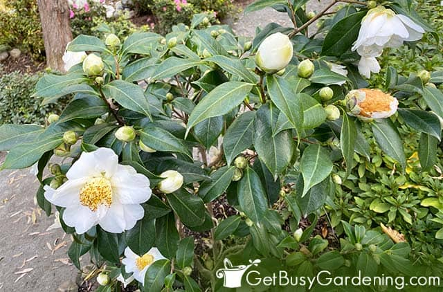 Camelias are beautiful flowering shrubs for shade