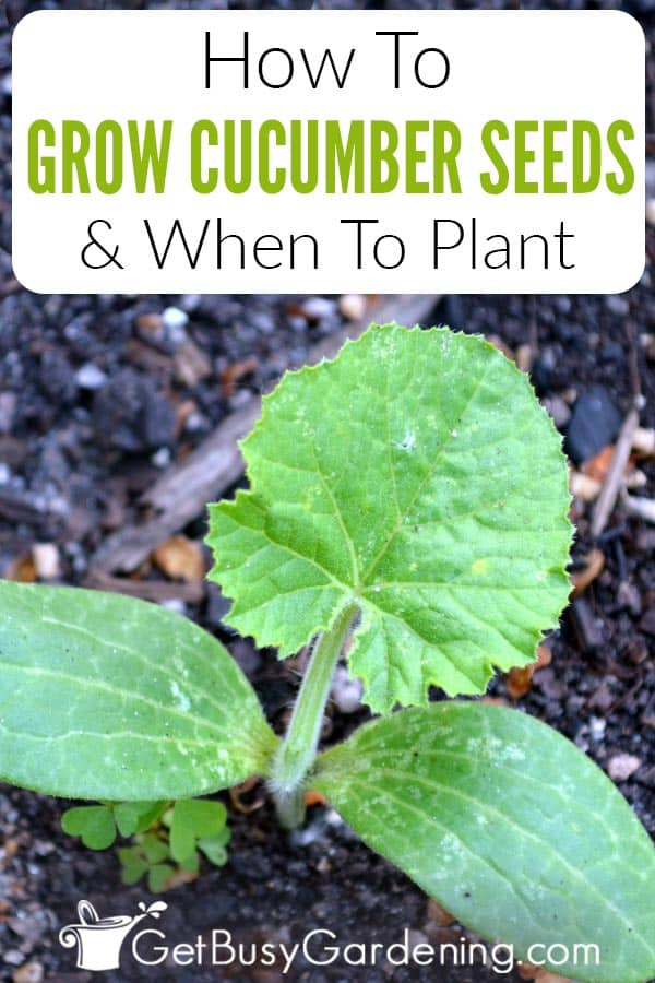 How To Grow Cucumber Seeds & When To Plant