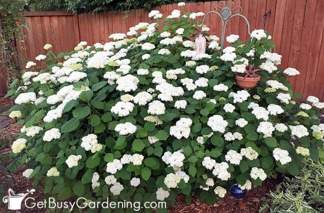 Hydrangeas are flowering bushes for shade