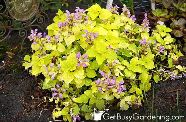 Lamium are good plants for shady gardens