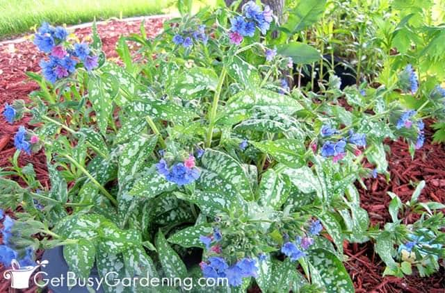 Lungwort growing in my shady garden