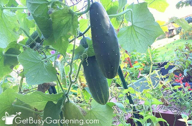 Mature cucumbers ready to harvest