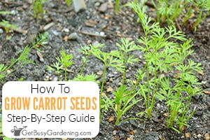 How To Plant & Grow Carrots From Seed