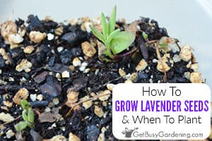 How To Grow Lavender From Seed & When To Plant
