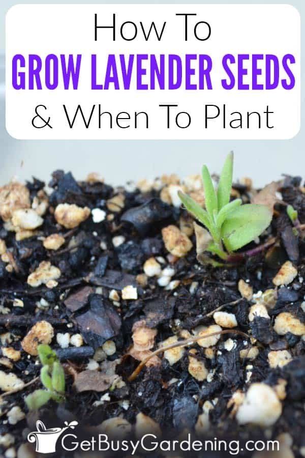 How To Grow Lavender Seeds & When To Plant