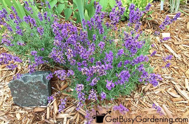 Mature lavender in my garden