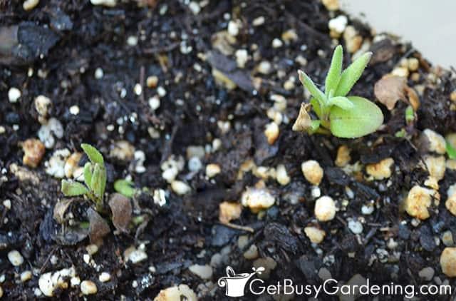 True leaves on lavender seedling