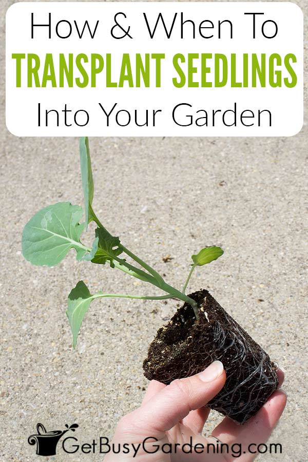 How & When To Transplant Seedlings Into Your Garden