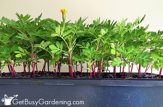 A tray of seedlings grown indoors