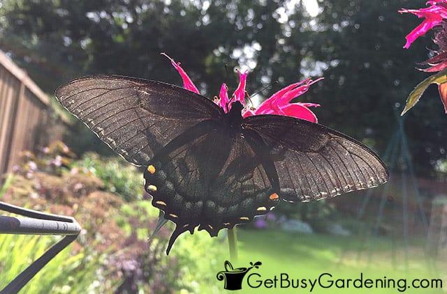 Black swallowtail butterfly on monarda flower