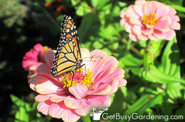 Monarch butterfly on pink zinnia flower