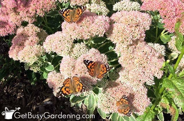 Painted lady butterflies on sedum flowers