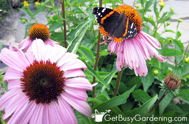 Red admiral butterfly on purple cone flower