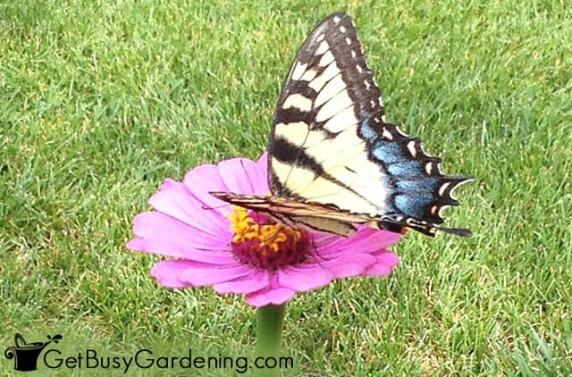 Yellow swallowtail butterfly sitting on a wide flower