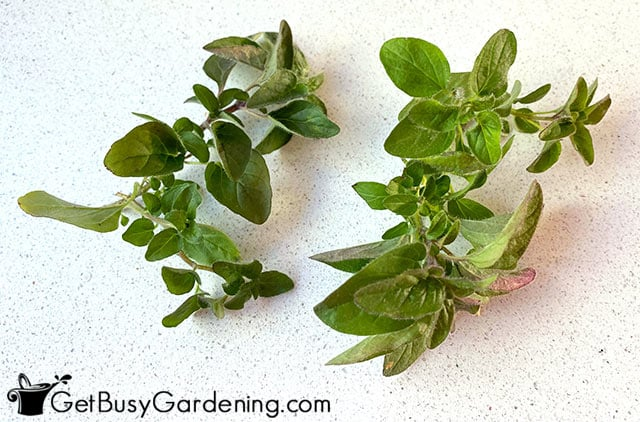 Air drying oregano on the counter
