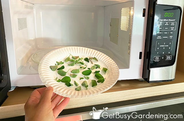 Drying oregano leaves and stems in the microwave