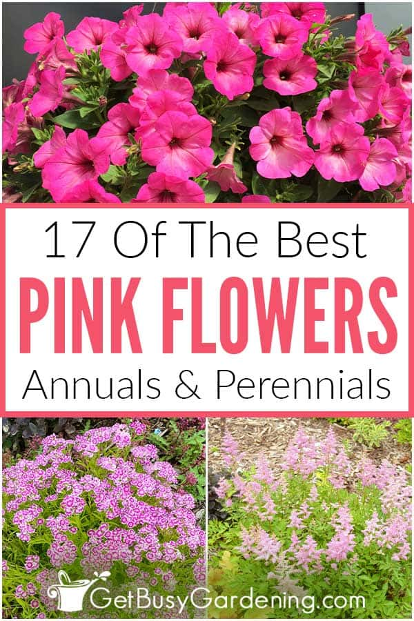 17 Of The Best Pink Flowers Annual & Perennials