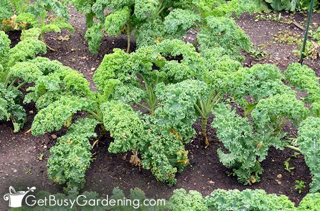 Baby kale ready in as little as 50 days