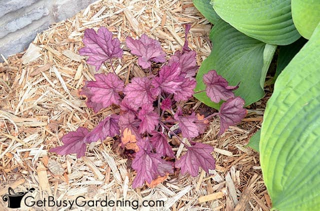 Coral bells add color around house foundation