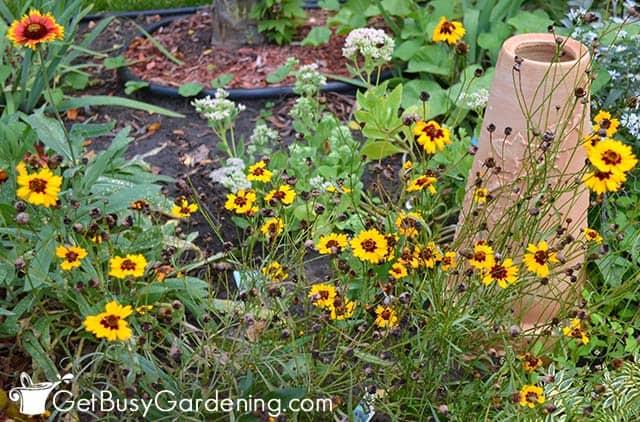 Coreopsis perennials bloom repeatedly all season long