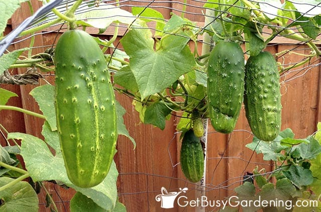 Cucumbers starting to produce in less than two months