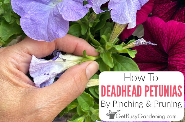 How To Deadhead Petunias By Pinching & Pruning