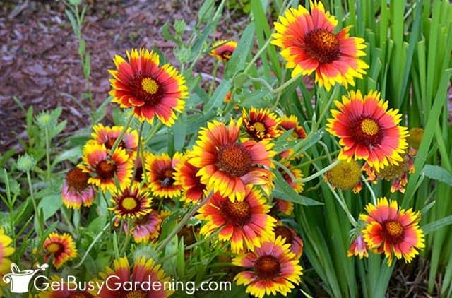 Gaillardia blooms all summer long