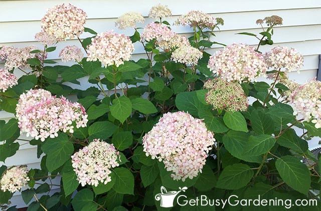 Hydrangeas are popular foundation shrubs
