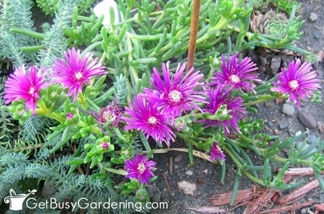 Ice plant has flowers that bloom all season