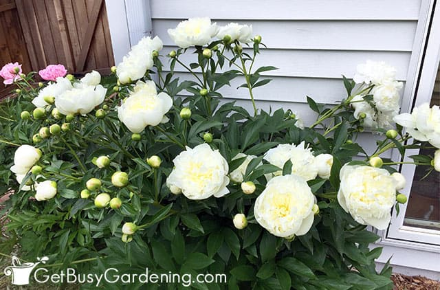 Peonies planted at the corner of my house