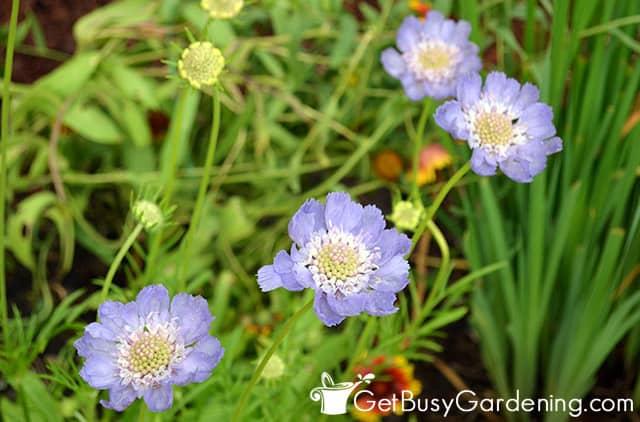 Pincushion perennials flower summer through fall