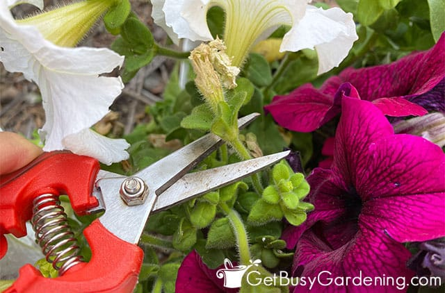 Pruning off a dead petunia flower
