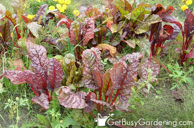 Quick growing swiss chard ready to pick