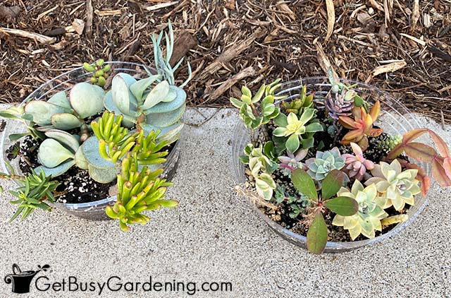 Rooting plant cuttings to fill my low budget garden