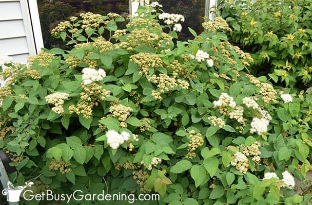 Spirea shrubs in front of house