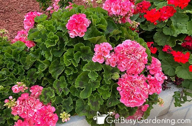 Tropical geraniums bloom repeatedly year round