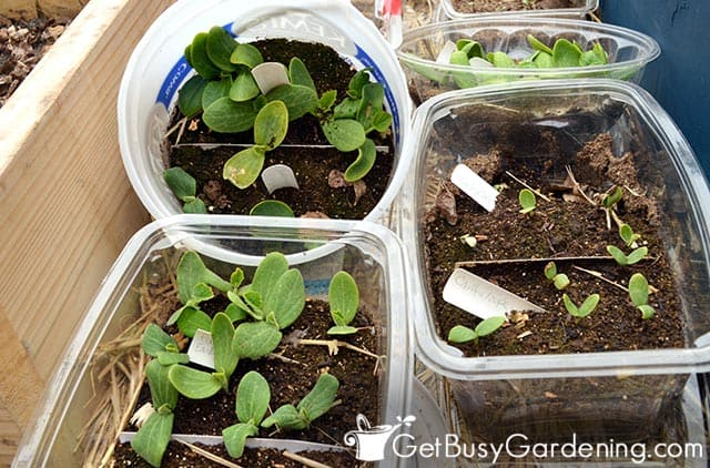 Upcycling trash to start seeds on a budget