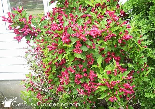 Weigela flowering shrub next to the house