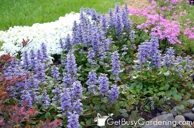 Ajuga ground cover doing very well in low light
