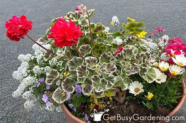 Beautiful summer container of red geranium flowers