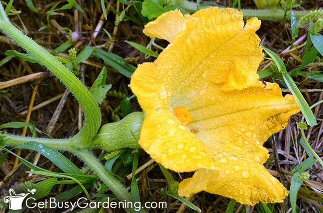Female squash flower ready to be pollinated