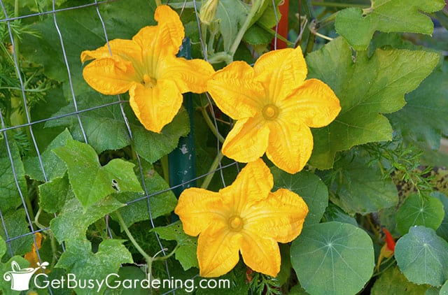 Flowers blooming on a squash plant