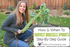 How & When To Harvest Brussels Sprouts Step-By-Step Guide
