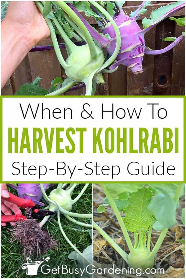 When & How To Harvest Kohlrabi Step-By-Step Guide
