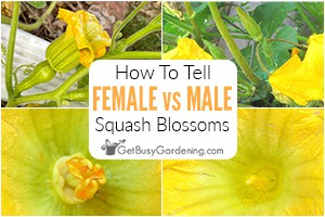 Female -vs- Male Squash Flowers: How To Tell The Difference