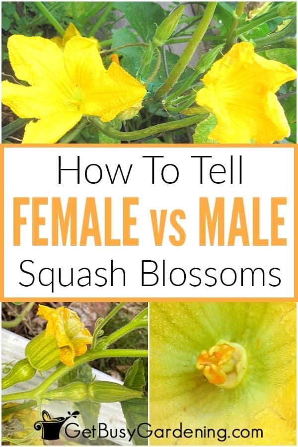How To Tell Female vs Male Squash Blossoms