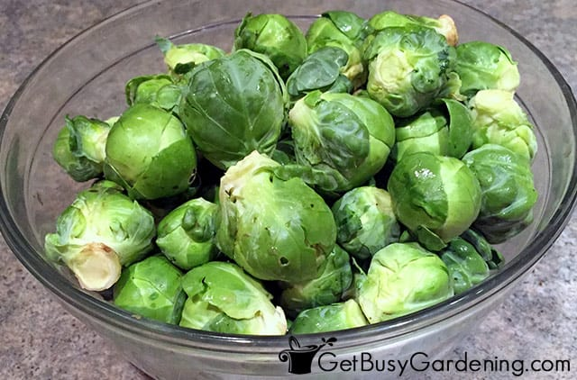 One harvest of brussels sprouts ready to eat