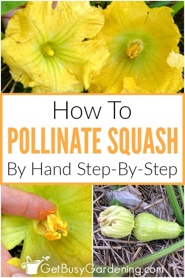 How To Pollinate Squash By Hand Step-By-Step