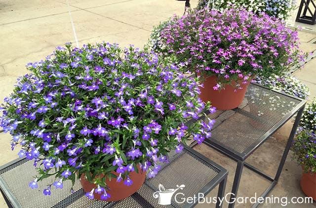 Stunning planters of blooming purple lobelia